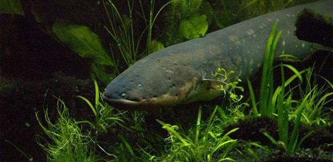 Resuelto el misterio de los peces eléctricos