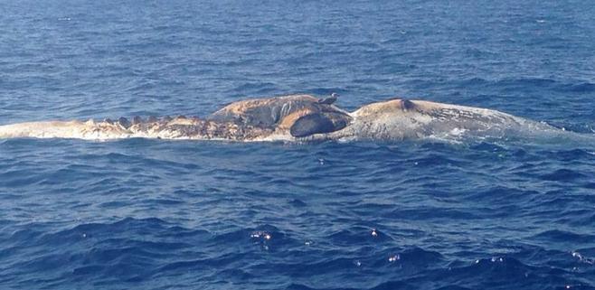 Aparece una ballena muerta en el Port de Sóller