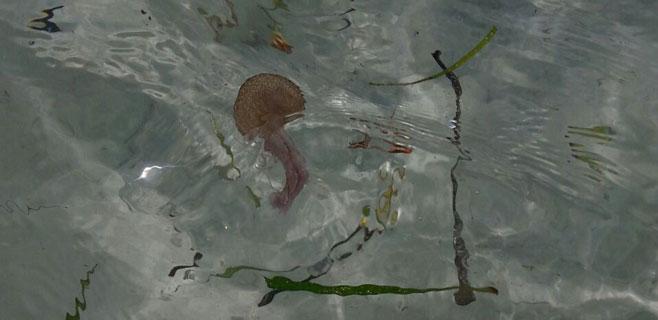 Plaga de medusas en Illetes