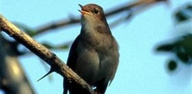Un Shazam para identificar el canto de aves