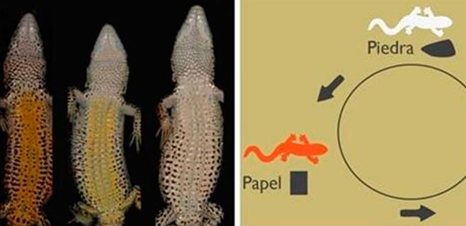 Las lagartijas eligen pareja según el 'piedra, papel o tijera'