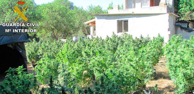 Detenidas 4 personas por cultivar 250 plantas de marihuana en Llubí