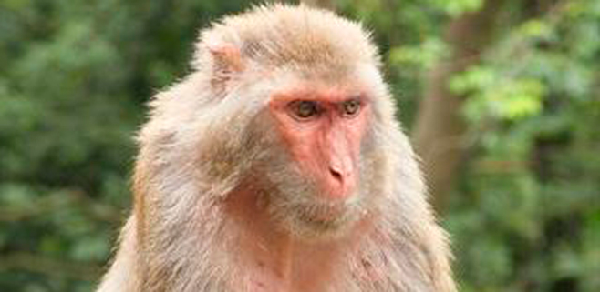 El color rojo también seduce a las hembras de mono