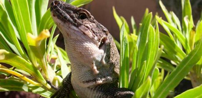 Los reptiles pueden aprender por imitación
