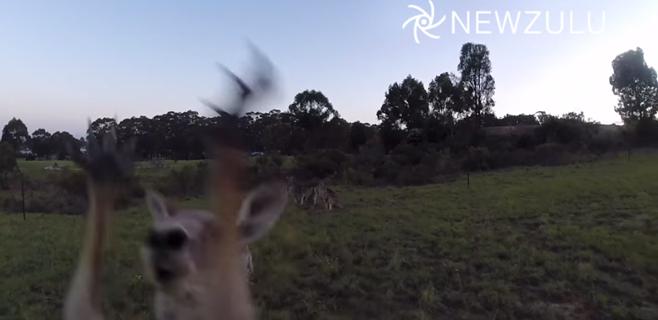 Un canguro acaba con las miradas indiscretas de un drone