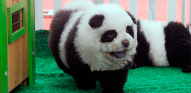 Un circo exhibía perros chow-chow como osos panda