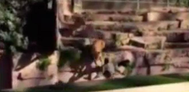 En estado crítico el hombre atacado por los leones en el zoo