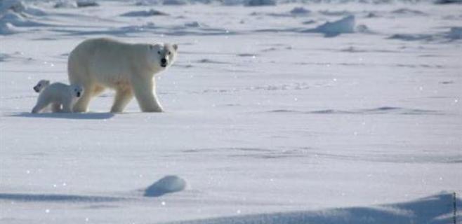 El oso polar cambia de hogar por el Calentamiento Global