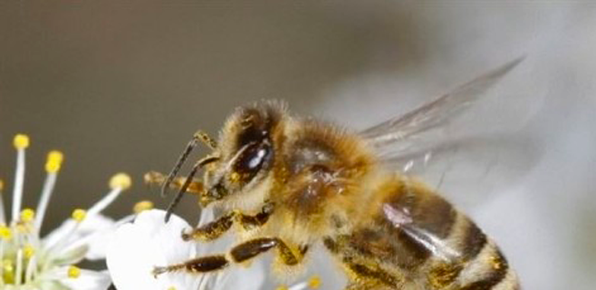 El declive mundial de abejas puede ser por estrés