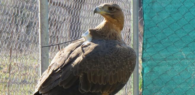 Liberada en Mallorca una águila