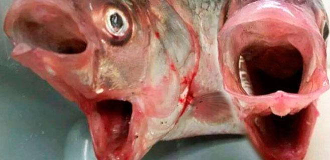 Hallado un pez con dos bocas en aguas de Australia