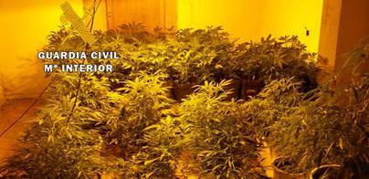 3 personas detenidas en una finca de Llucmajor con 97 plantas de marihuana