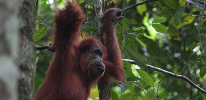 Los orangutanes imitan el grito de Tarzán