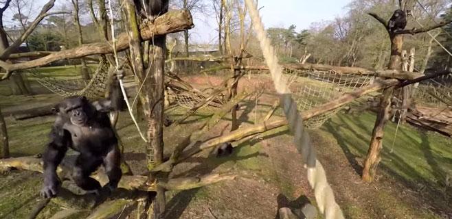Un chimpancé derriba con un palo un dron que le grababa