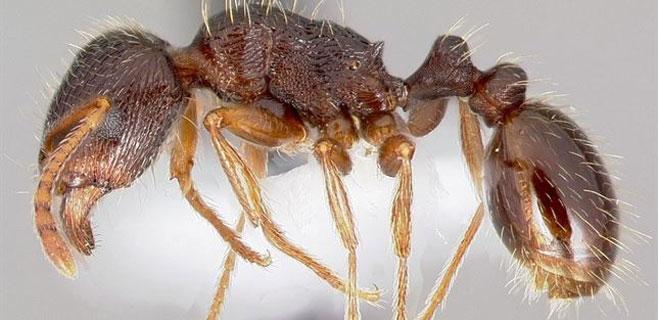 Las hormigas urbanas prefieren la comida de los humanos