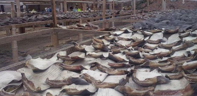 Decomisadas 200.000 aletas de tiburón