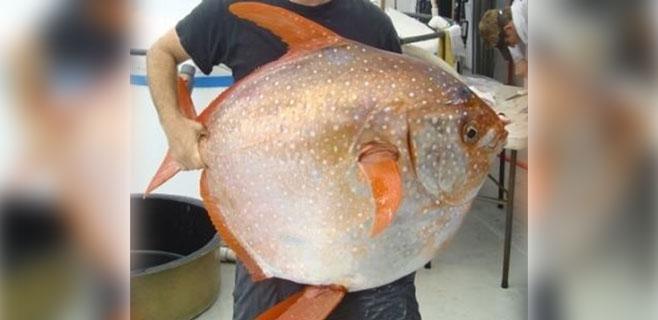 Descubierto el primer pez de sangre caliente