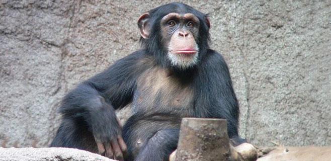 Los chimpancés pueden revelar el origen de la cocina