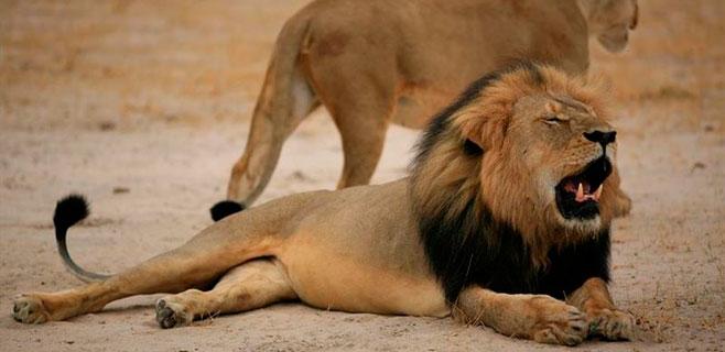 Zimbabue pide la extradición del cazador que mató a 'Cecil'