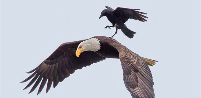 Un fotógrafo pilla a un cuervo paseando a lomos de un águila