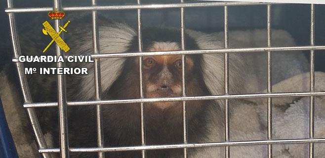 Requisado en Sant Antoni un mono usado como reclamo para fotos