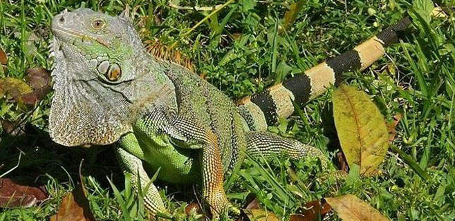 En Puerto Rico hay más iguanas verdes que humanos