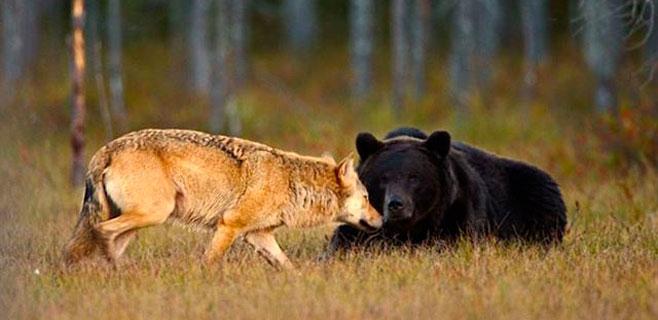 Documentada la inusual amistad entre un lobo y un oso