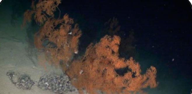 Oceana halla bosques de coral negro y gorgonias en el canal de Mallorca