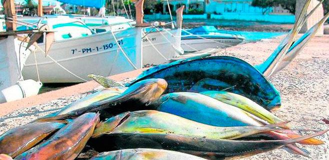 Mallorca ya ha pescado 20 toneladas de llampuga en el ecuador de la campaña