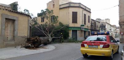 El viento tumba un gran árbol en Felanitx