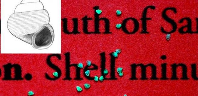 El nuevo caracol más pequeño del mundo mide 0,7 milímetros