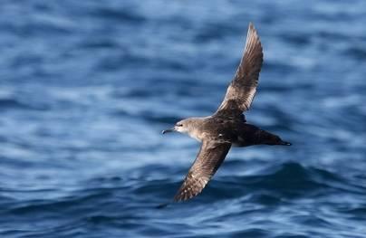 Un 'virot' en pleno vuelo a ras de mar