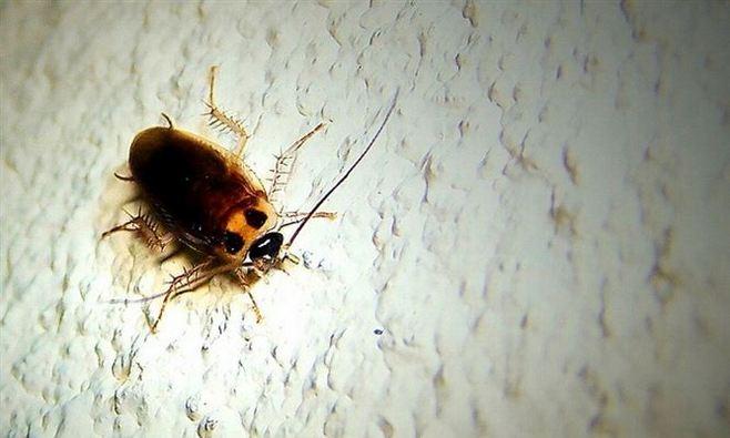 cucaracha col2