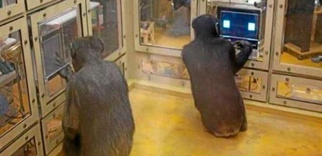 chimpancés-humanos