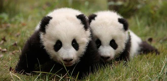 osos-panda